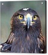 Golden Eagle Lookin' At You Acrylic Print