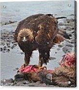 Golden Eagle On An Elk Carcass Acrylic Print