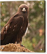 Golden Eagle Acrylic Print by Roger Snyder
