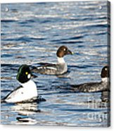Golden-eyed Ducks Acrylic Print