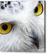Golden Eyes Acrylic Print