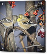 Golden Finch Cold Shoulder Acrylic Print