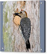 Golden-fronted Woodpecker Acrylic Print