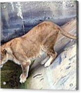 Golden Fur Lioness Acrylic Print