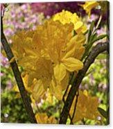 Golden Glory - Azalea Acrylic Print