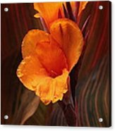 Golden Glow Canna Lily Acrylic Print