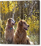 Golden Goldens - Golden Retriever Brothers - Casper Mountain - Casper Wyoming Acrylic Print