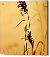 Golden Grain Silhouette Acrylic Print
