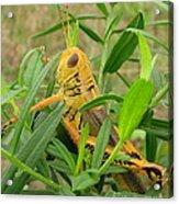 Golden Grasshopper Acrylic Print