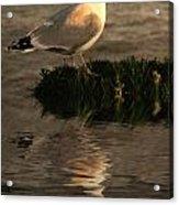 Golden Gull Acrylic Print