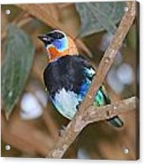 Golden-hooded Tanager Acrylic Print