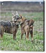 Golden Jackal Canis Aureus Acrylic Print
