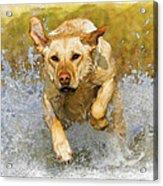 Golden Labrador Acrylic Print
