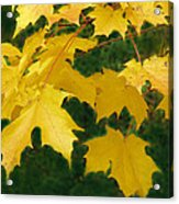 Golden Leaves Floating Acrylic Print