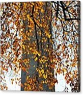 Golden Leaves In Mt Vernon Acrylic Print