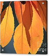 Golden Leaves With Golden Sunshine Shining Through Them Acrylic Print