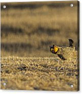 Golden Light On The Prairie Acrylic Print by Thomas Young