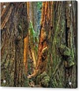 Golden Light Reaches The Grove Floor Muir Woods National Monument Late Winter Early Afternoon Acrylic Print