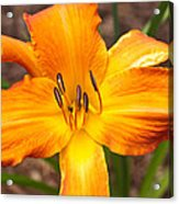 Golden Lilly 2 Acrylic Print