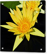 Golden Lily Acrylic Print