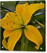 Golden Lily Sway 2013 Acrylic Print