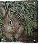 Golden Mantled Ground Squirrel    Callospermophilus Lateralis Acrylic Print