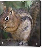 Golden Mantled Squirrel  Callospermophilus Lateralis Acrylic Print