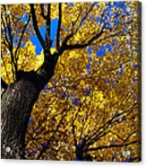 Golden Maple 7 Acrylic Print
