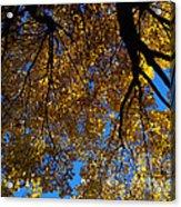 Golden Maple 8 Acrylic Print