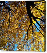 Golden Maple 9 Acrylic Print