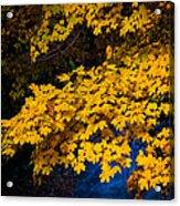 Golden Maples Acrylic Print