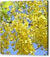 Golden Medallion Shower Tree Acrylic Print