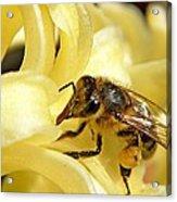Golden Nectar  Acrylic Print