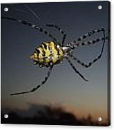 Golden Orb Web Spider Acrylic Print