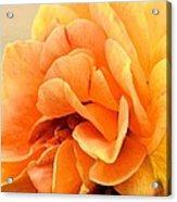 Golden Peach Rose Acrylic Print