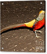 Golden Pheasant Male Acrylic Print