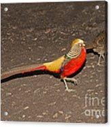Golden Pheasant Pair Acrylic Print