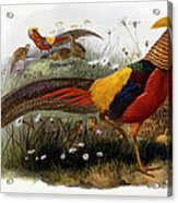 Golden Pheasants Acrylic Print