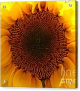 Golden Ratio Sunflower Acrylic Print by Kerri Mortenson