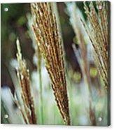Golden Reeds Acrylic Print