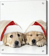 Golden Reriever Puppies, 7 Weeks Old Acrylic Print