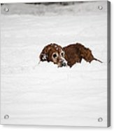 Golden Retreiver Playing In The Snow Acrylic Print