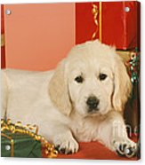 Golden Retriever Amongst Presents Acrylic Print
