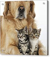 Golden Retriever And Kittens Acrylic Print