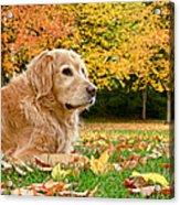 Golden Retriever Dog Autumn Day Acrylic Print