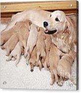 Golden Retriever Dog, Litter Suckling Acrylic Print