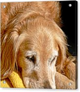 Golden Retriever Dog On The Yellow Blanket Acrylic Print
