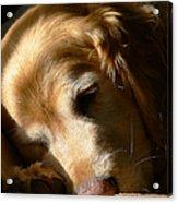 Golden Retriever Dog Sleeping In The Morning Light  Acrylic Print by Jennie Marie Schell