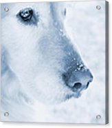 Golden Retriever Dog Snowflakes On My Nose Acrylic Print
