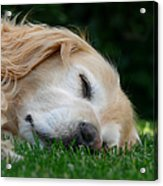 Golden Retriever Dog Sweet Dreams Acrylic Print